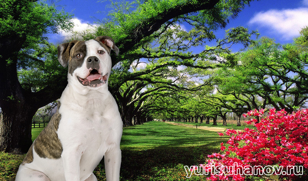 American-Bulldog-miniat