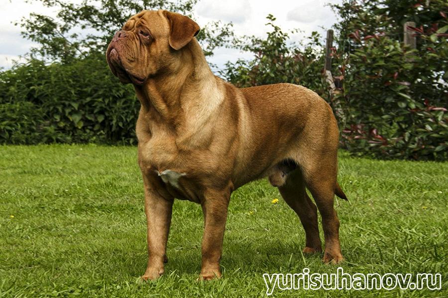 Bordeauxski-dog-stoyka