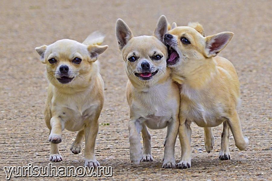 Chihuahua-go
