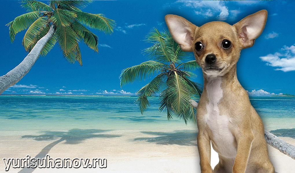 Chihuahua-miniat