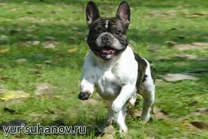 Породы собак. Французский бульдог в движении