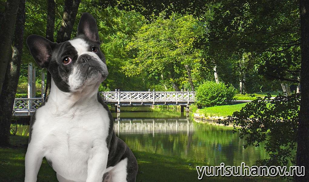 French-Bulldog-miniat