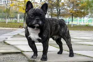 Породы собак. Французский бульдог в стойке