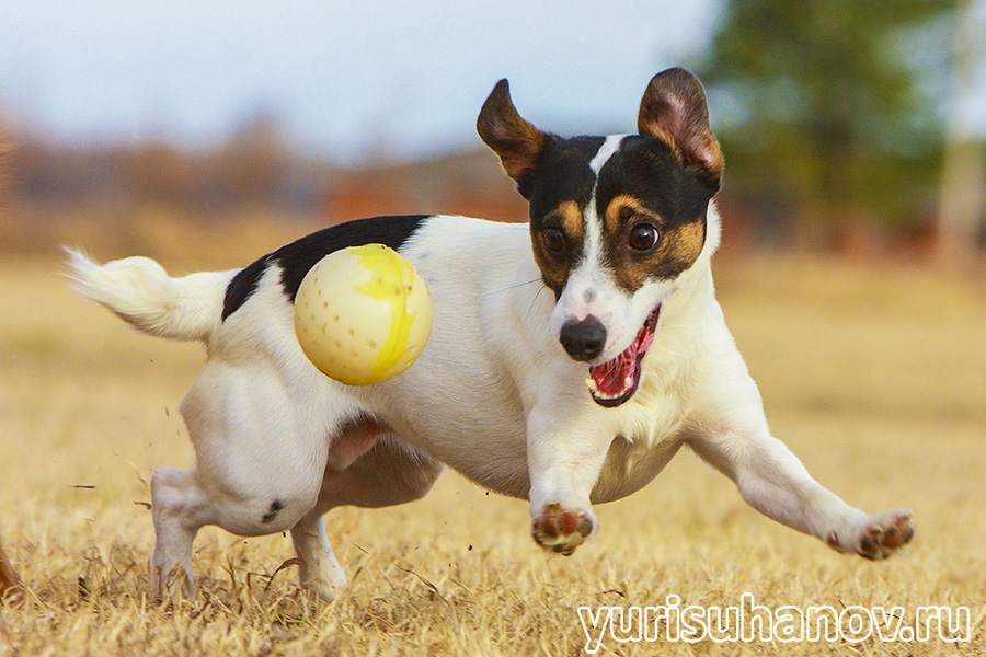 Jack_Russell_go