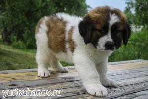 Породы собак. Московская сторожевая овчарка щенок