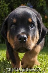 Породы собак. Ротвейлер щенок
