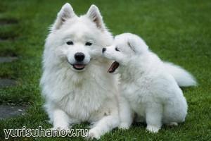 Породы собак. Самоедская лайка со щенком