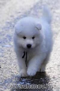 Породы собак. Самоедская лайка щенок