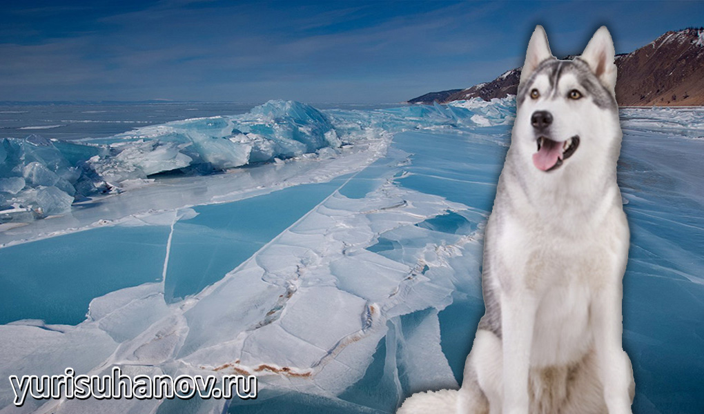 Siberian-Husky-miniat