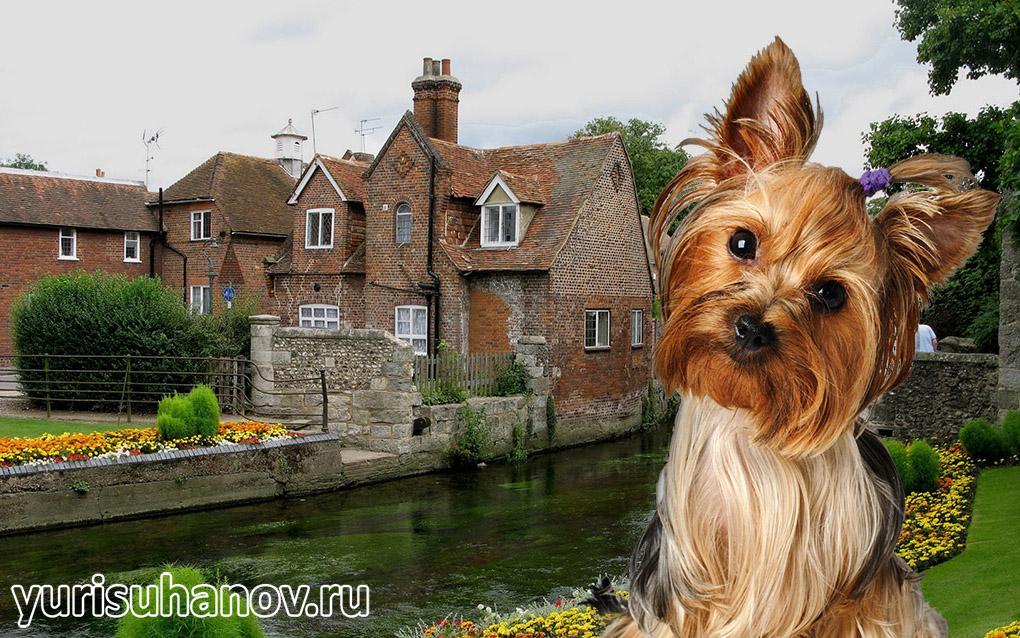 Yorkshire-Terrier-miniat