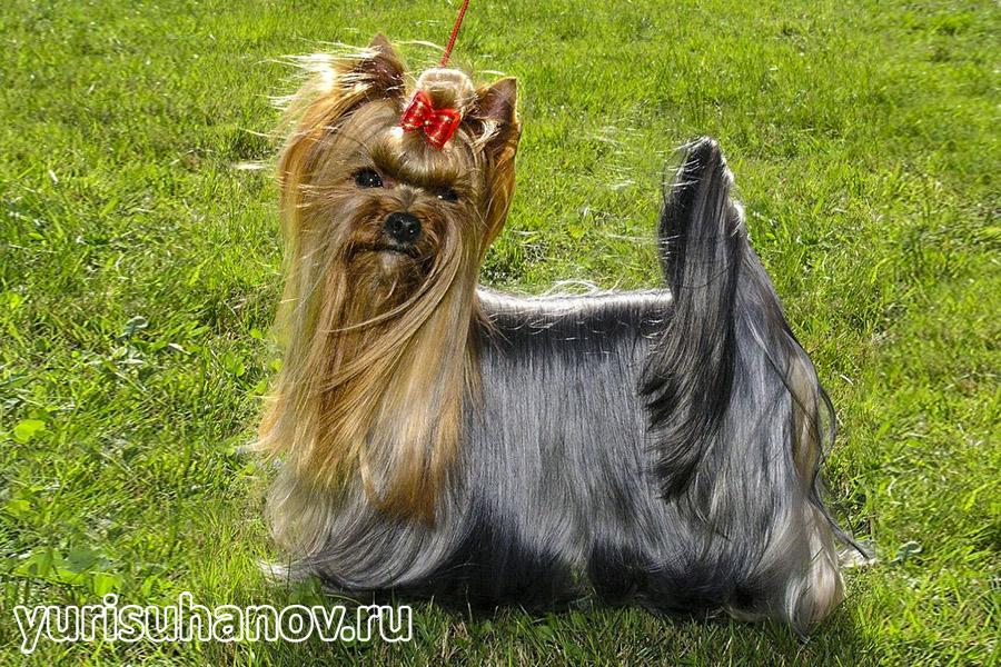 Yorkshire-Terrier-stoyka