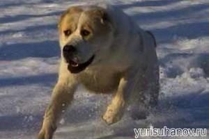 Породы собак. Среднеазиатская овчарка (Алабай)