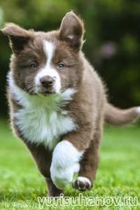 Породы собак. Бордер колли щенок