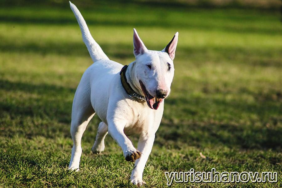 bull terrier-go