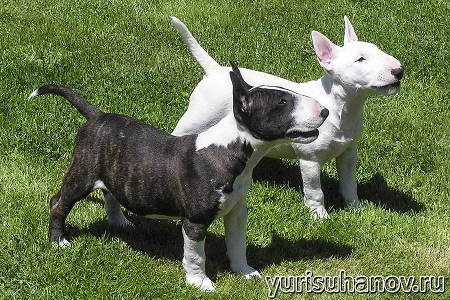 bull terrier-shchenok