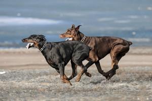 Породы собак. Доберман в движении
