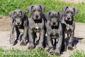 Породы собак. Немецкий дог голубые щенки