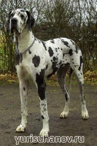 Породы собак. Немецкий дог