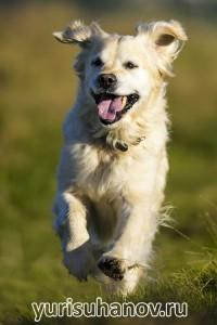 Породы собак. Золотистый ретривер в движении