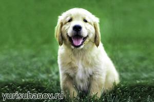 Породы собак. Золотистый ретривер щенок