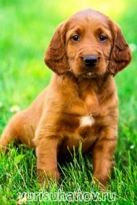 Породы собак. Ирландский сеттер щенок