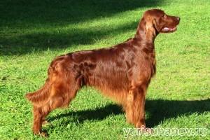 Породы собак. Ирландский сеттер