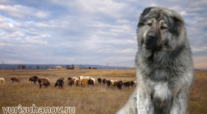 kavkazskaya-ovcharka-miniat