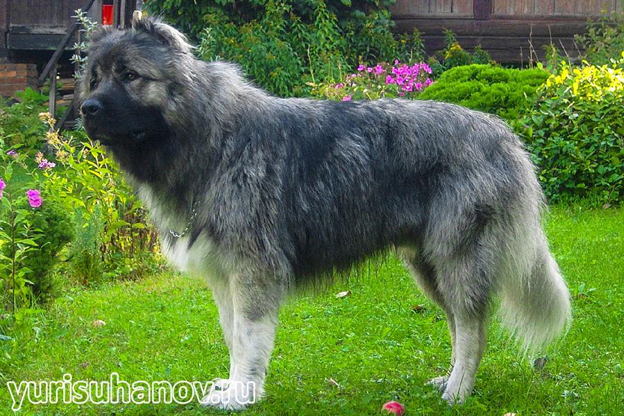kavkazskaya-ovcharka-stoyka