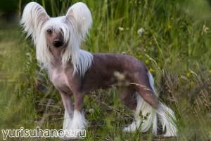 Породы собак. Китайская хохлатая голая