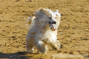 Породы собак. Китайская хохлатая в движении