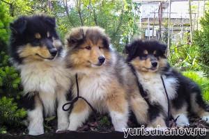 Породы собак. Колли щенки