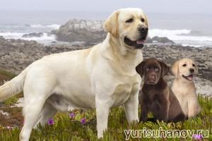 Породы собак. Лабрадор ретривер со щенками