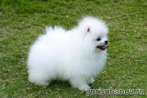 Породы собак. Белый Карликовый шпиц