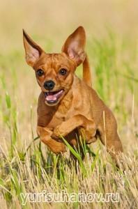 Породы собак. Карликовый пинчер   Блог кинолога Юрия Суханова