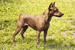 Породы собак. Карликовый пинчер