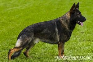 Породы собак. Немецкая овчарка в стойке