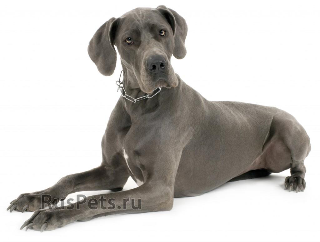 nemeckii-dog