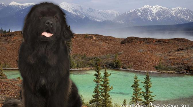 Породы собак. Ньюфаундленд | Блог кинолога Юрия Суханова