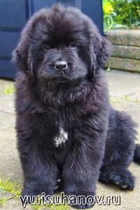 Породы собак. Ньюфаундленд щенок