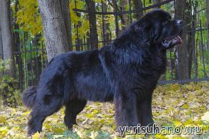 Породы собак. Ньюфаундленд в стойке