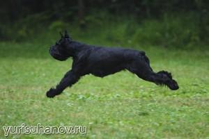 Породы собак. Ризеншнауцер в движении