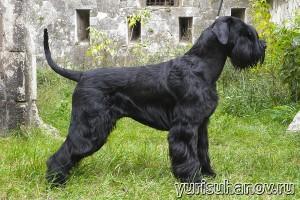 Породы собак. Ризеншнауцер