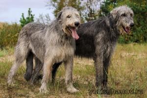 Породы собак. Ирландские волкодавы