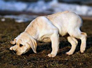 Приучаем щенка ходить в туалет на улицу | Блог кинолога Юрия Суханова