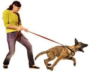 Собака для семьи. Тянет поводок | Диалог с собакой