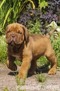 Породы собак. Бордоский дог щенок