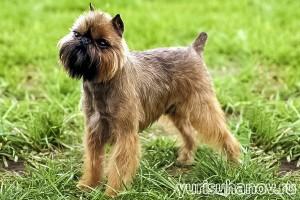 Породы собак. Брюссельский грифон