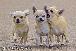 Породы собак. Чихуахуа