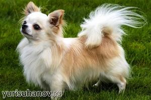 Породы собак. Чихуахуа в стойке
