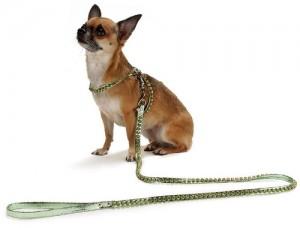 Чихуахуа — собака-компаньон